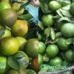 Cùng vạch mặt các loại hoa quả độc hại của Trung Quốc